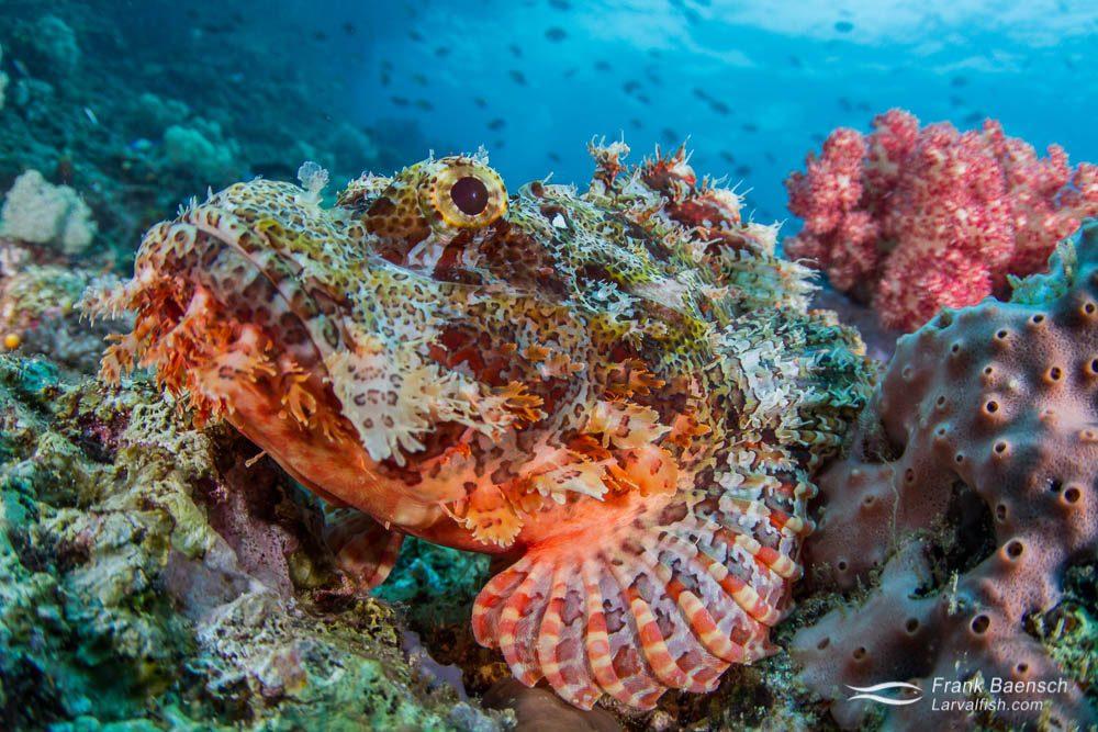 Head shot of tassled scorpionfish (Scorpaenopis oxycephala). Indonesia.