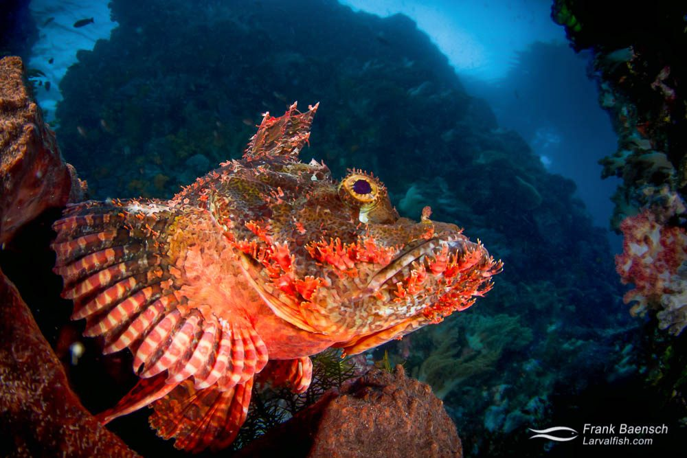 Close up of a tassled scorpionfish (Scorpaenopsis oxycephala) perched on a rock infront of an underwater cave. Indonesia.