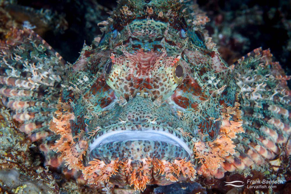 Tassled scorpionfish (Scorpaenopsis oxycephala) face to face. Indonesia.