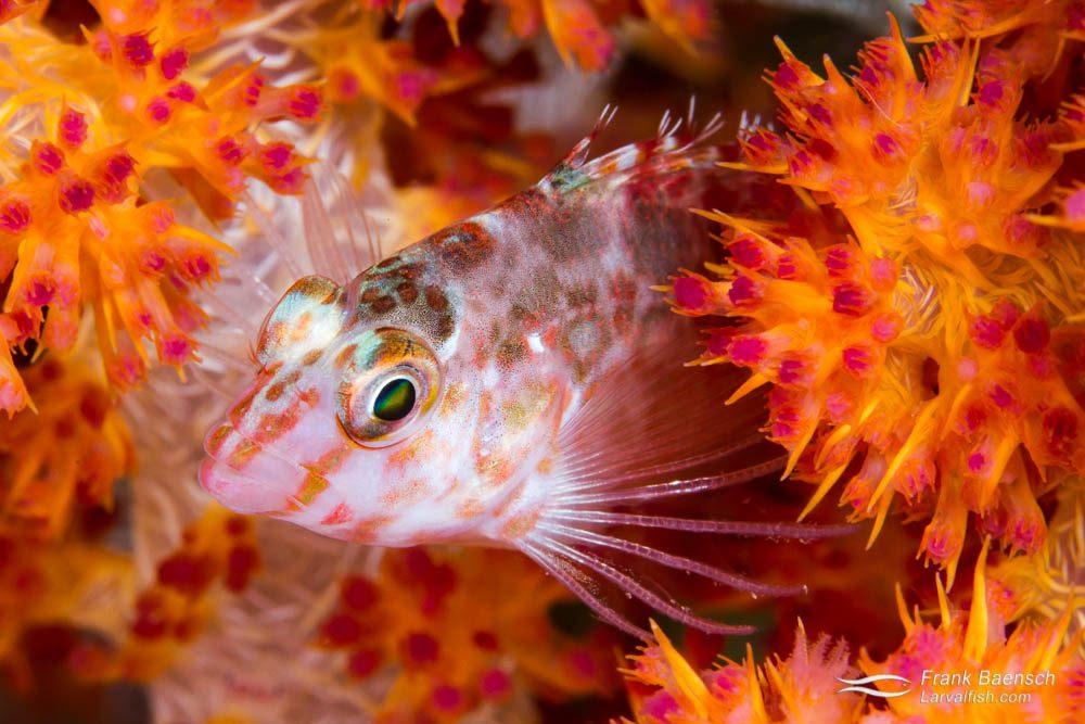 Threadfin hawkfish (C. aprinus) on dendronephthya soft coral. Indonesia.