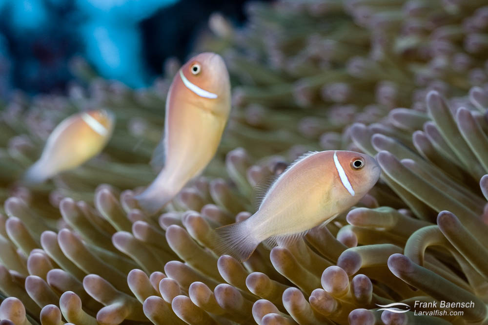 Three clownfish (A. perideraion) line up  in their anemone home. Solomon Islands.