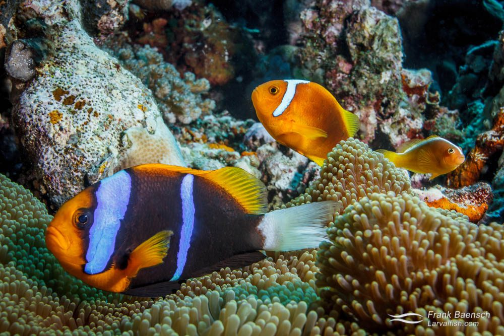 Orange-finned anemonefish (Amphiprion chrysopterus), skunk anemonefish (Amphiprion sandaracinos) and white-bonnet anemonefish (Amphiprion leucokranos) sharing one anemone. Papua New Guinea.
