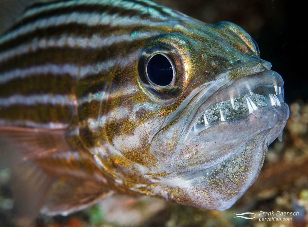 Tiger cardinalfish (Cheilodipterus macrodon) carrying eggs. Philippines.