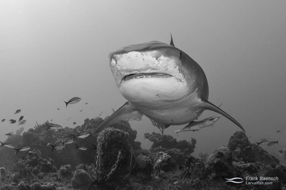 Tiger shark (Galeocerdo cuvier) cruises over a reef in the Bahamas.