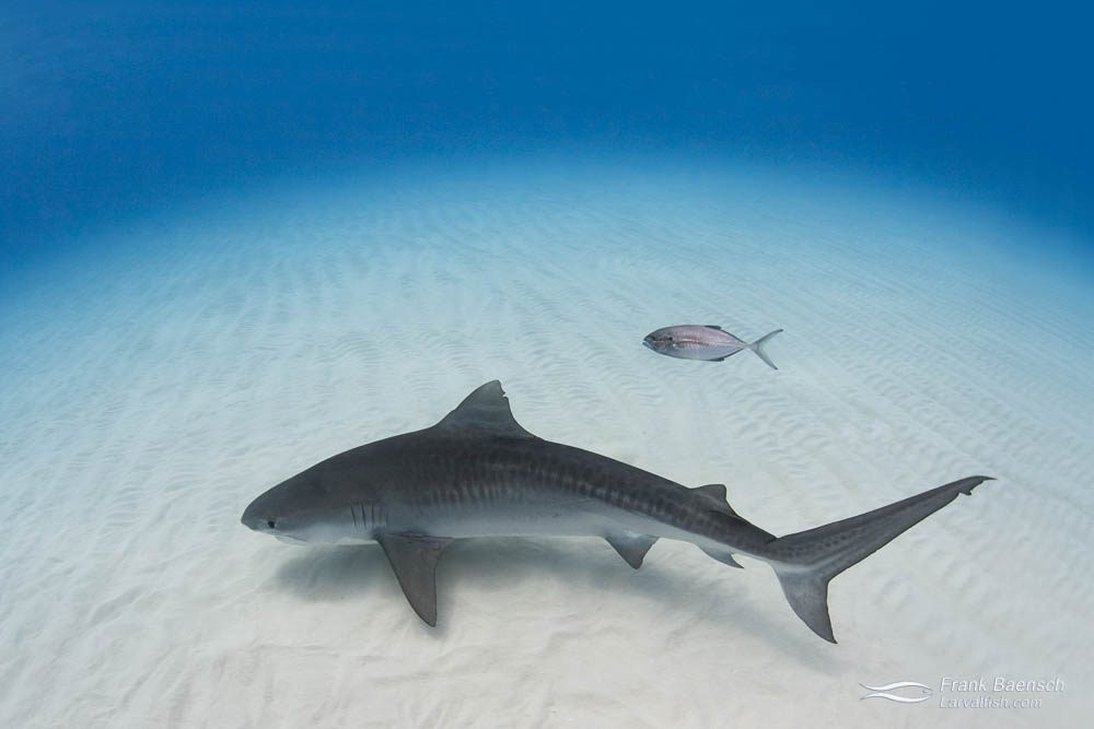 A young tiger shark (Galeocerdo cuvier) and lone bar jack on white sand in the Bahamas.