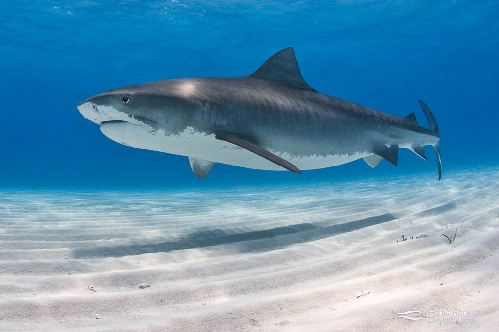 A tiger shark (Galeocerdo cuvier) over white sand bottom in the Bahamas.