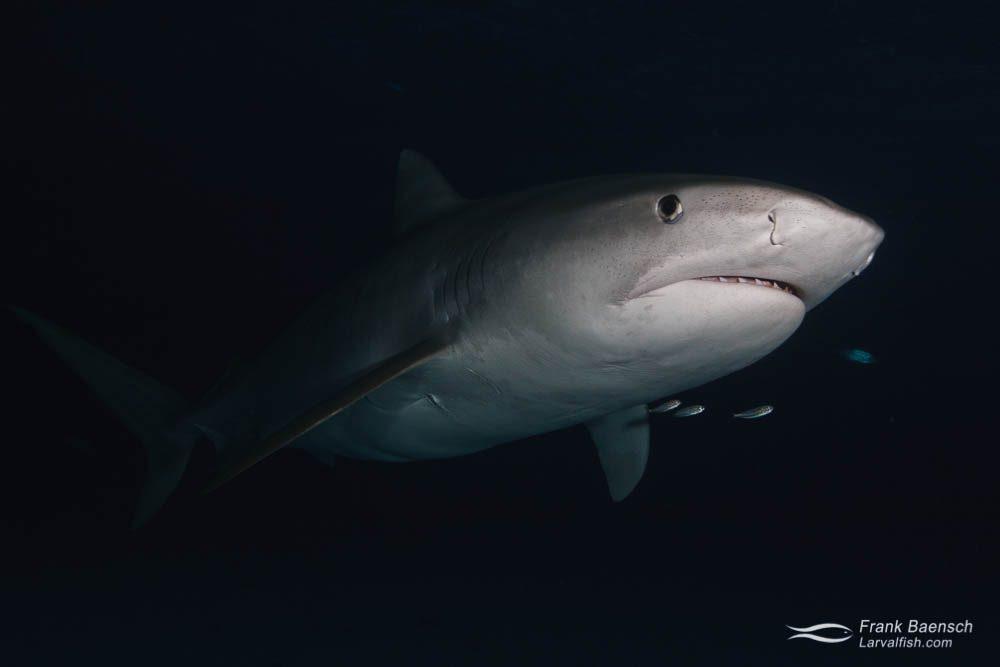 A tiger shark (Galeocerdo cuvier) at night. Bahamas.