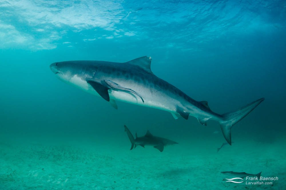 A large tiger shark (Galeocerdo cuvier) on a stormy day. Bahamas.