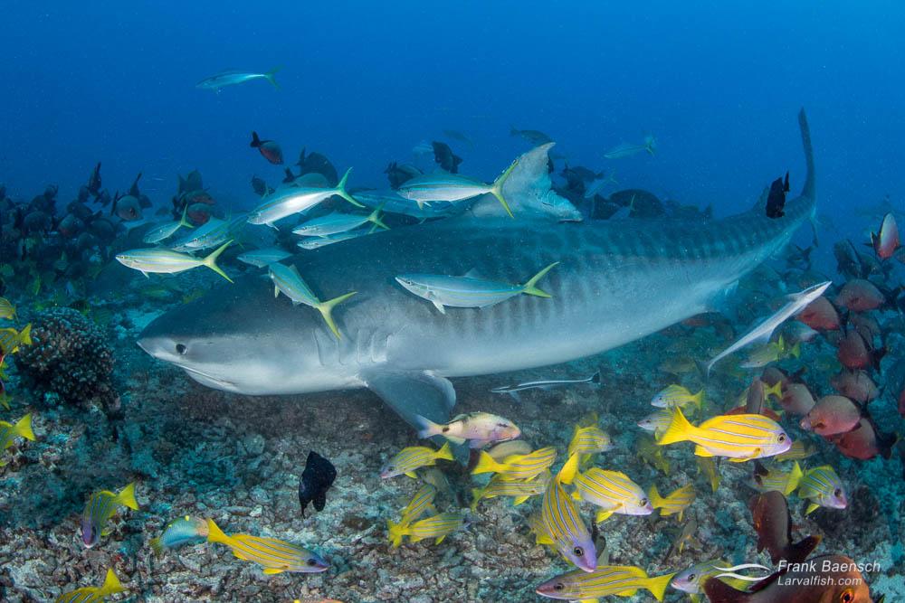 Tiger shark (Galeocerdo cuvier) off Tahiti, French Polynesia.