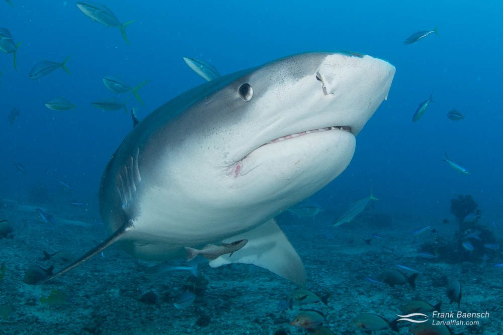 Tiger shark (Galeocerdo cuvier) off Tahiti, French Polynesia.