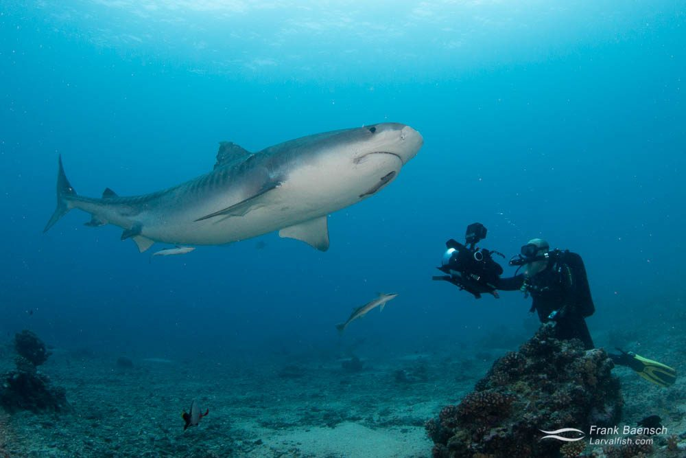 Diver films a tiger shark (Galeocerdo cuvier) off Tahiti, French Polynesia.