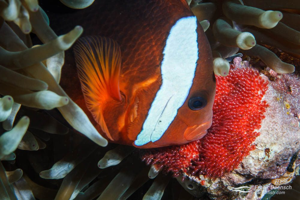 Tomato anemonefish (Amphiprion frenatus) ventilating its nest. Papua New Guinea.