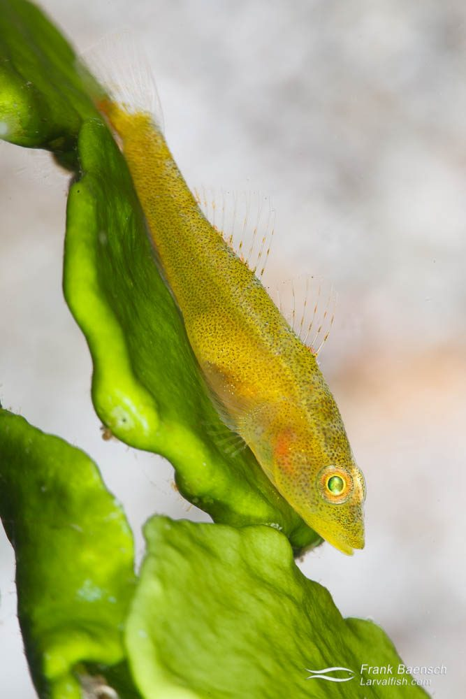 Toothy goby (Pleurosicya mossambica) on halimeda algae. Indonesia.