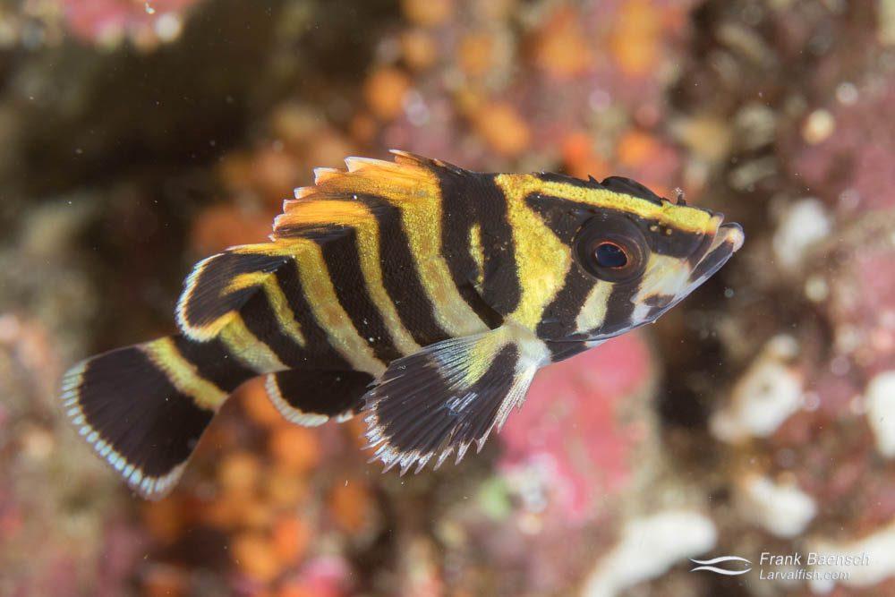Juvenile treefish (Sebastes serriceps). California.
