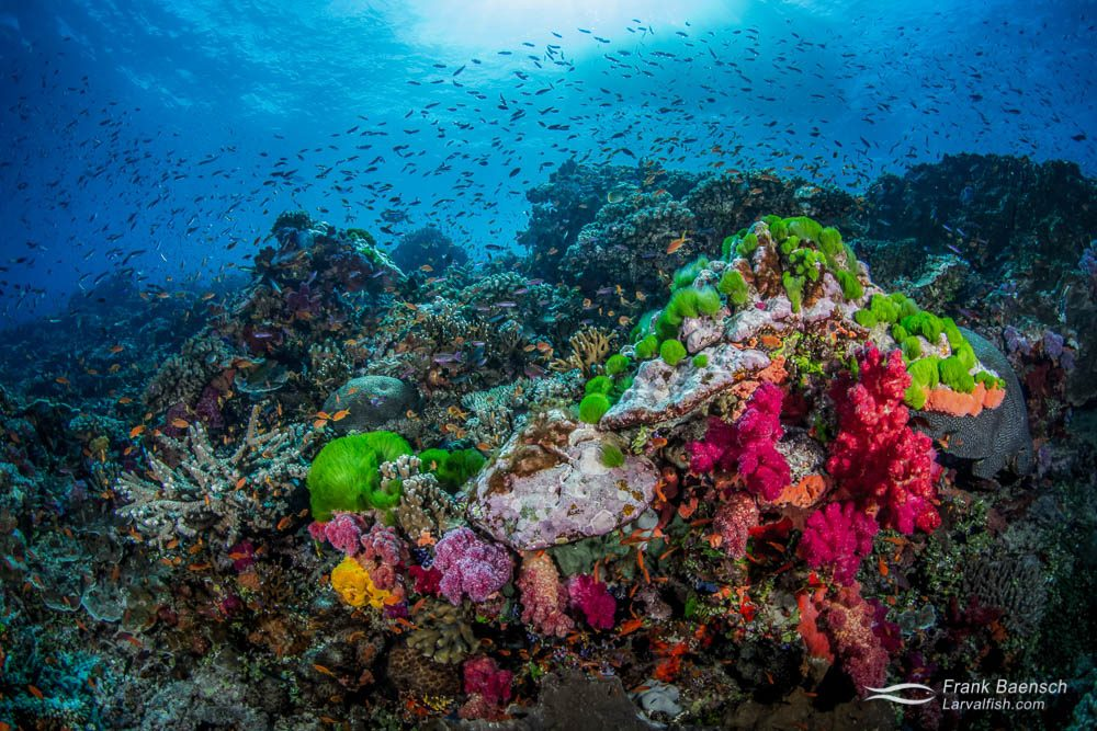 Green turf algae and soft coral reef scene. Fiji.