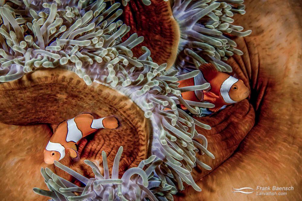 Two clownfish (A. ocellaris) in an orange mantled anemone. Solomon Islands.