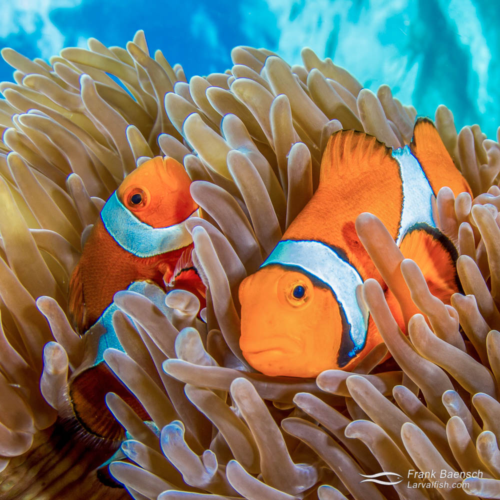 Close up of false clown anemonefish (Amphiprion oceallaris) peeking out from their anemone with turquoise waters in the background. Captive-bred aquarium fish help keep more fish, like Nemo here, on the reef. Indonesia.