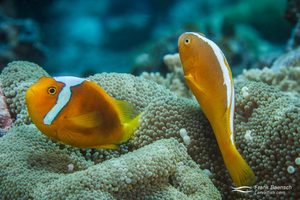 Skunk anemonefish (Amphiprion sandaracinos) and white-bonnet anemonefish (Amphiprion leucokranos) coexisting in one anemone. Papua New Guinea.