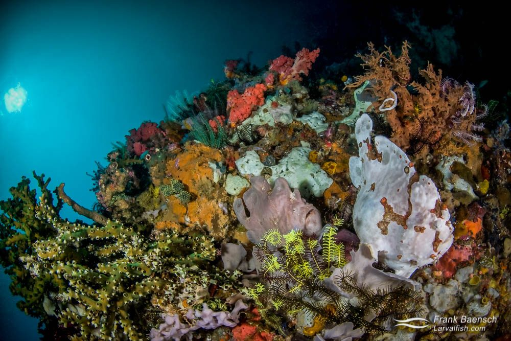 A giant frogfish (Antennarius commerson) pair blend in with colorful sponges on a deep reef. Indonesia.