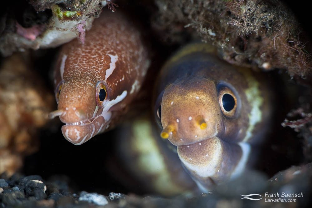 Barred-fin moray (Gymnothorax zonipectis) and barred moray (Echidna polyzona) sharing a home. Indonesia.