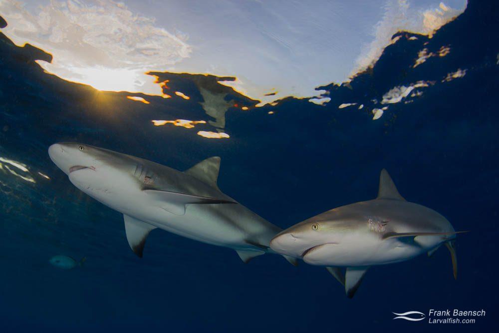 Two grey reef sharks (C. amblyrhynchos) on the surface at twilight. Bahamas.