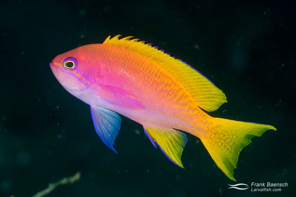 Female twospot anthias (Pseudanthias bimaculatus). Indonesia.