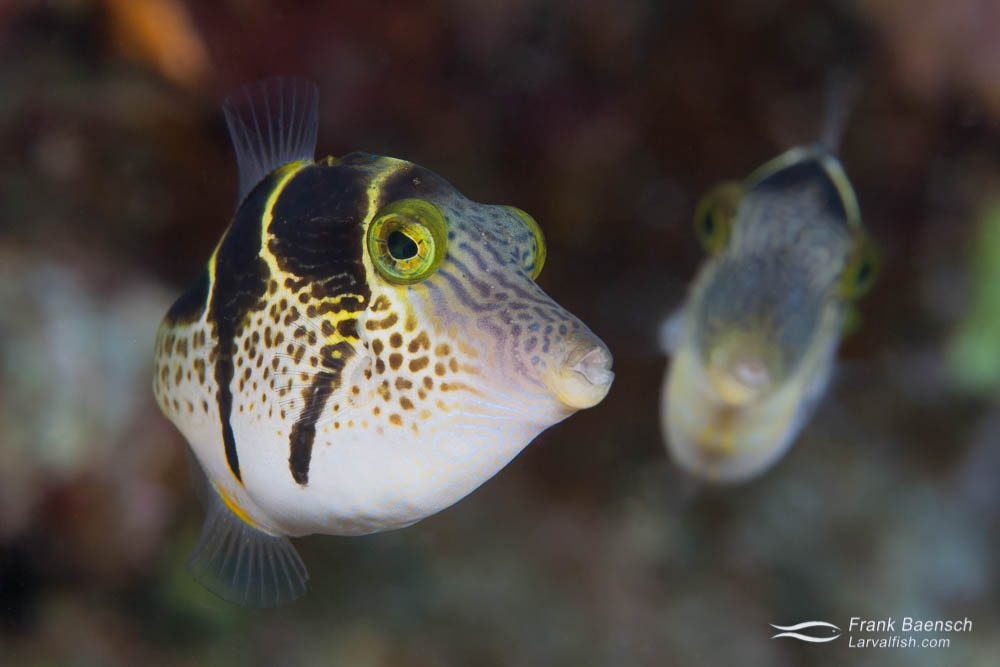 Head on shot of a pair of Valentine's puffers (Canthigaster velentini). Papua New Guinea.