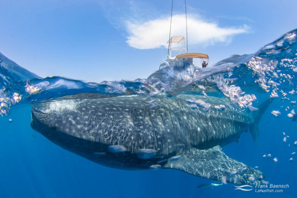 Whale shark (Rhincodon typus) with boat in the background. Mexico.
