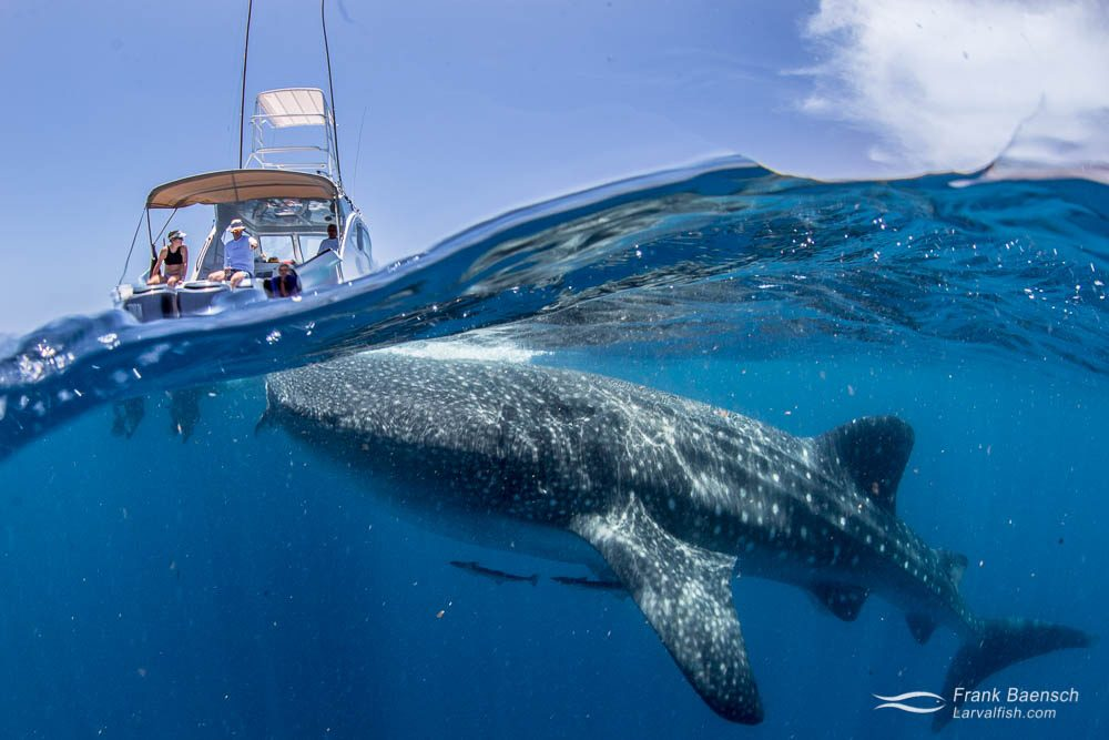 Whale shark (Rhincodon typus) surfaces with boat and spectators in the background. Mexico.