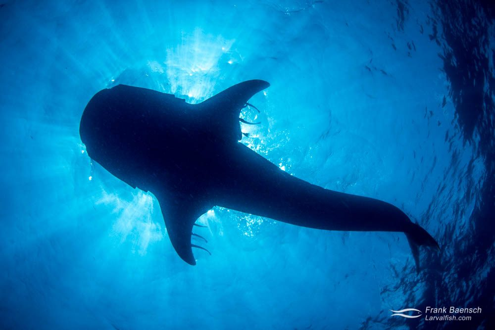 Whale shark (Rhincodon typus) silhouette. Mexico.