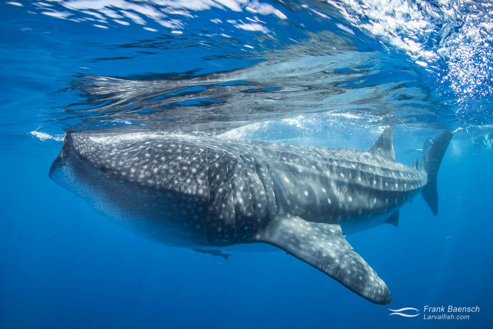 Whale shark (Rhincodon typus) feeding on the surface in Mexico.