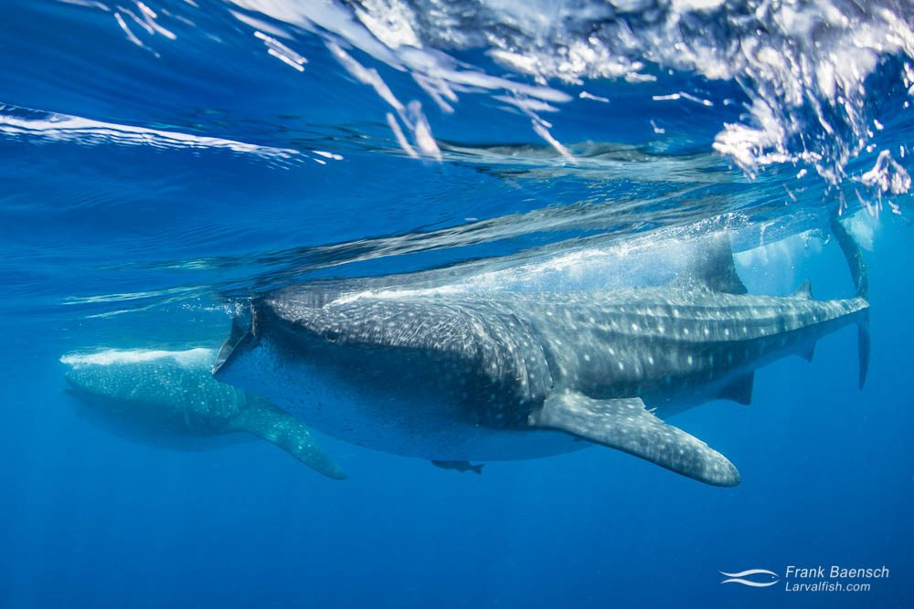 Two whale sharks (Rhincodon typus) feeding on tuna eggs at the surface. Mexico.