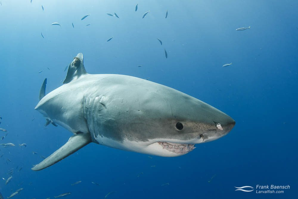 Great white shark (Carcharodon carcharias). Guadeloupe Island.
