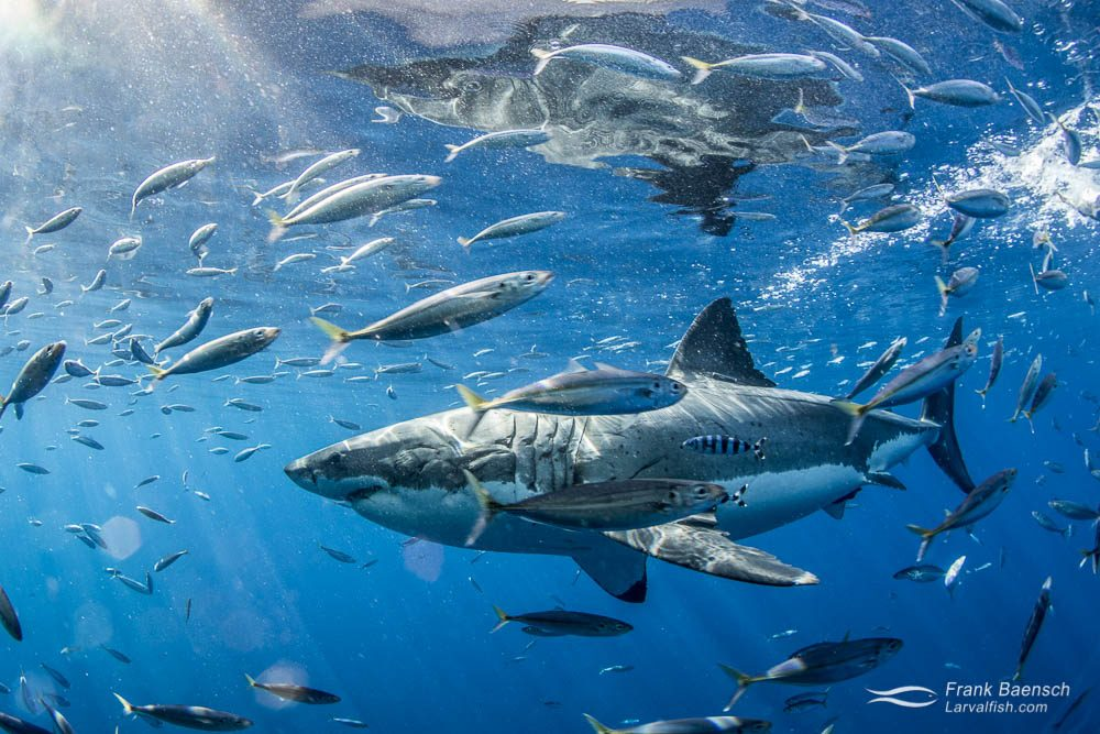 A white shark (Carcharodon carcharias) chases bait among mackeral scad. Guadeloupe Island.