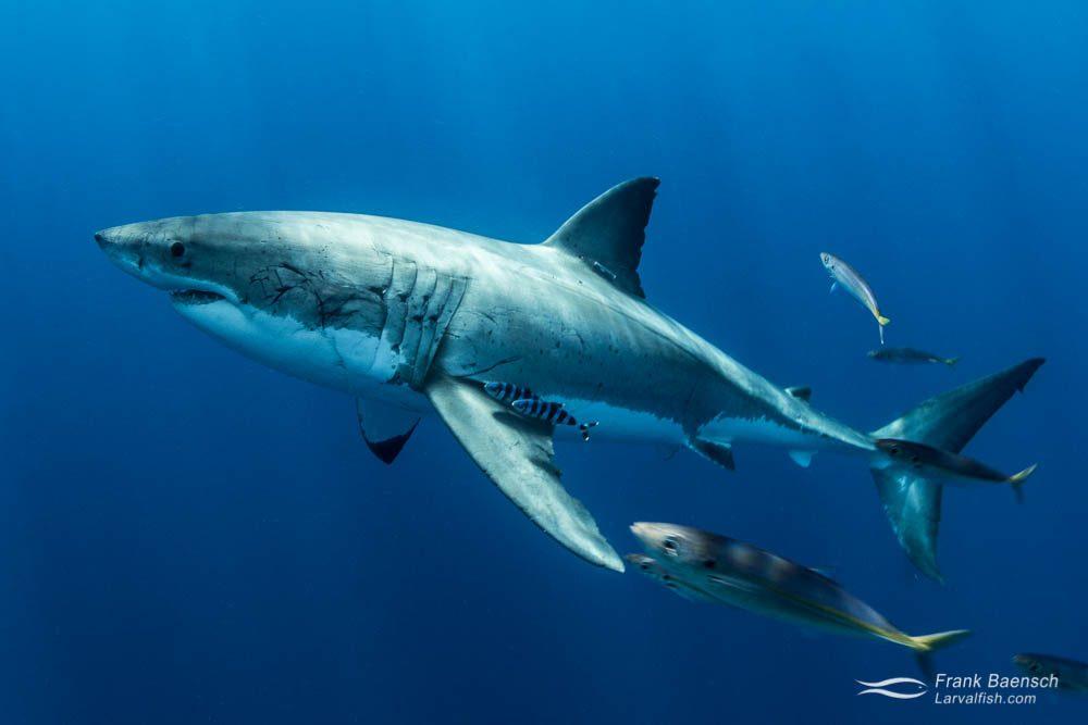 White shark (Carcharodon carcharias). Guadeloupe Island.