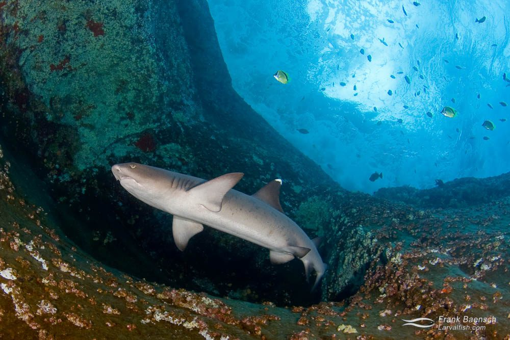 A whitetip reef shark (Triaenodon obesus) circles out of a cave under stormy seas. Socorro.