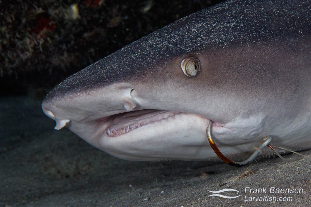 Close up of a whitetip reef shark (Triaenodon obesus) with a fish hook in its mouth. Hawaii.