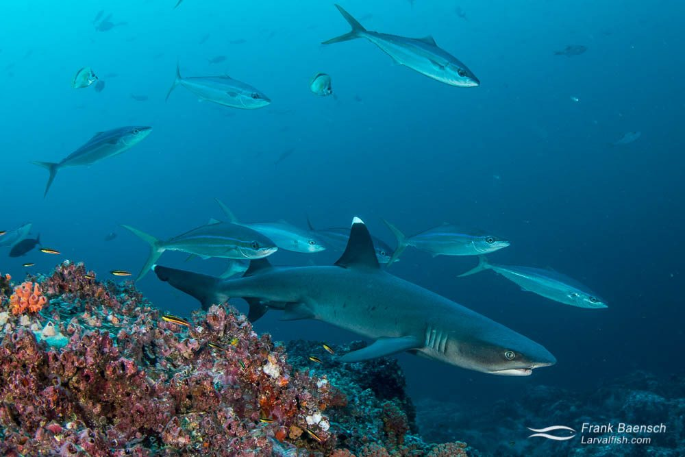 Rainbow runners (Elagatis bipinnulata) accompany a whitetip reef shark (Triaenodon obesus) at Cocos Island. Costa Rica.