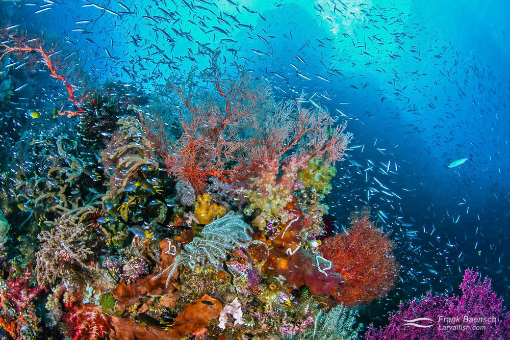 Wild reef scene with fish and soft corals in Indonesia.