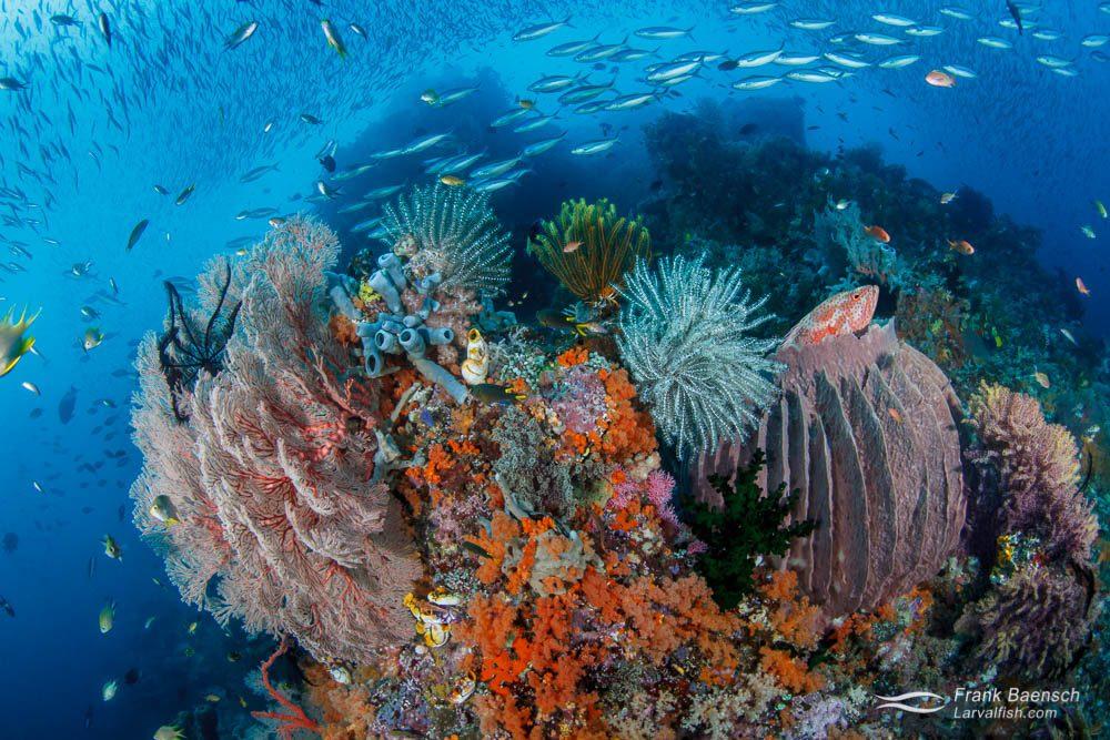 Coral grouper (Cephalopholis miniata), fusilier, silverside, sponge, crinoid, soft coral reef scene. Indonesia.
