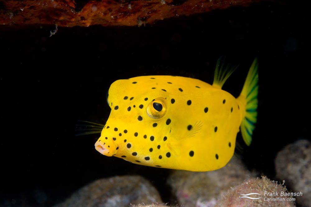 Yellow boxfish (Ostracion cubicus) in a cave. Indonesia.