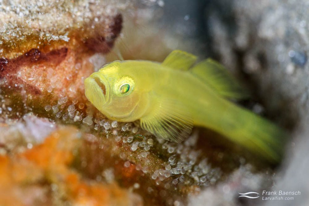 Yellow pygmy goby (Lubricogobius) protecting it's nest. Papua New Guinea.