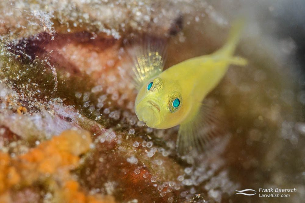 Head on shot of yellow pygmy goby (Lubricogobius) protecting it's nest. Papua New Guinea.