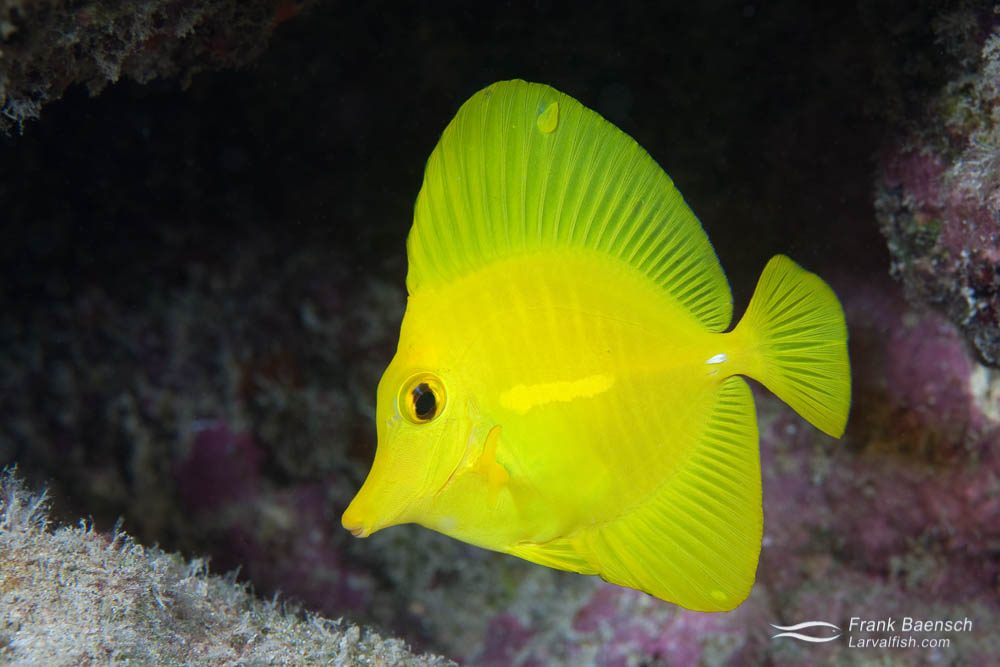 The Hawaiian endemic yellow tang (Zebrasoma flavescens) is popular in the aquarium trade. The Chad Callan lab at the Oceanic Institute first cultured yellow tang in 2016 after many years of research - becoming the first to raise a surgeonfish species. The larval phase is about 60 days long. Hawaii.