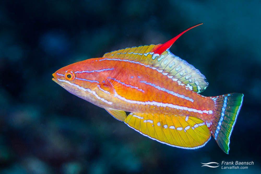 Make yellowfin flasher wrasse (Paracheilinus flavianalis) (Indonesia).
