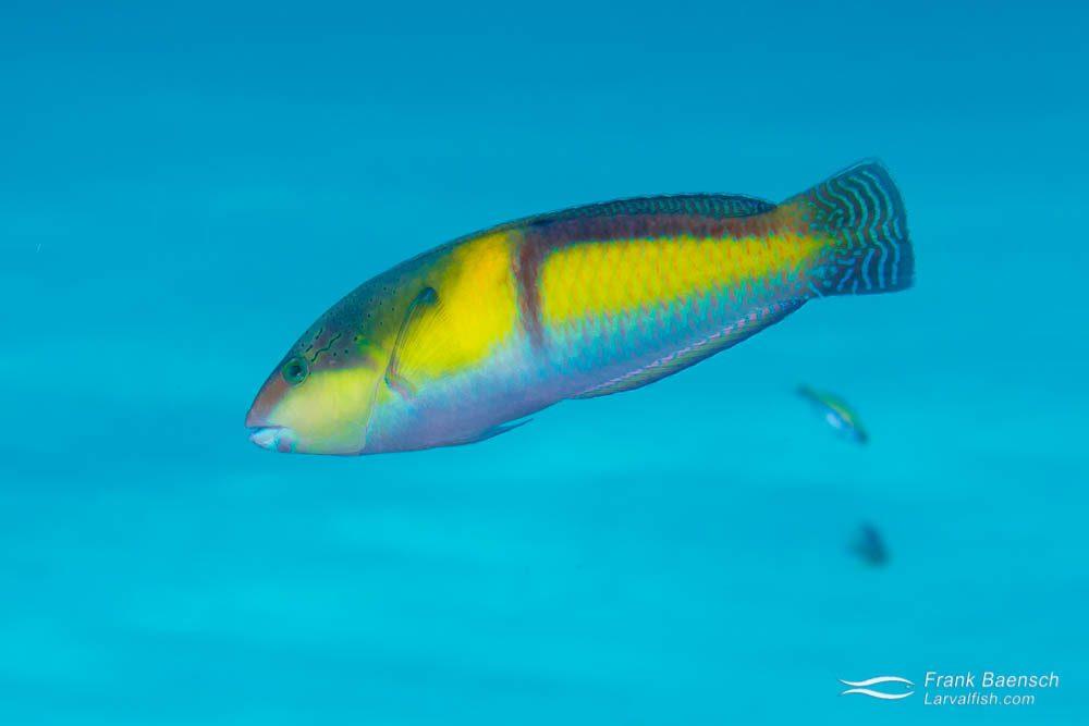 Yellowhead wrasse (Halichoeres garnoti) - terminal phase. Bahamas.