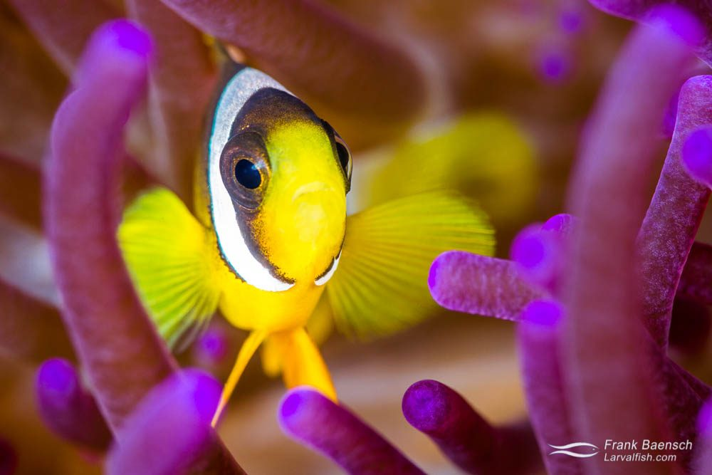 Juvenile yellowtail clownfish (Amphiprion clarkii). Indonesia.