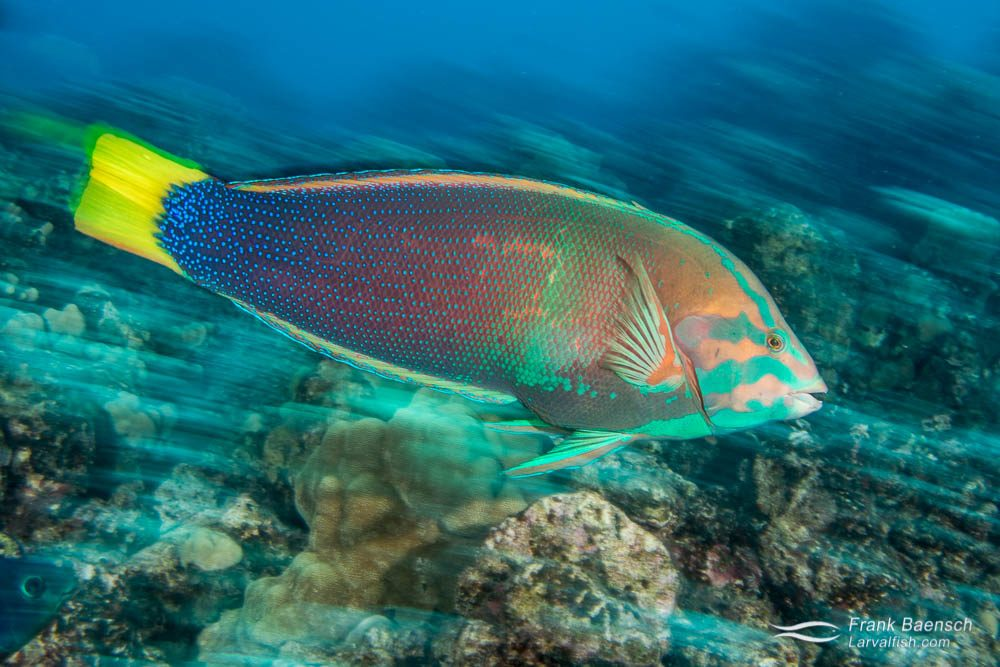 Yellowtail coris wrasse (Coris gaimard) (Hawaii).