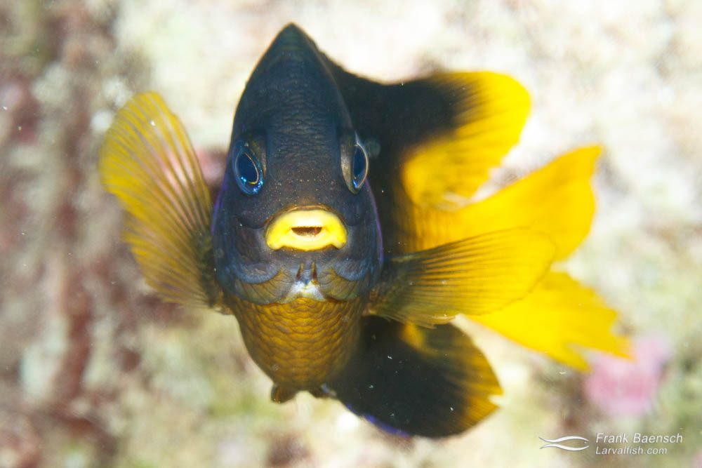 Head on shot of yellowtail damselfish (Stegastes arcifrons) at Cocos Island
