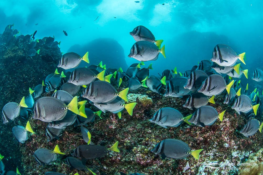 School of yellowtail surgeonfish (Prionurus punctatus). Cocos Island. Costa Rica.